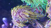 Korallen Euphyllia Dragon Soul Toxic