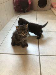 Perser mix Kitten
