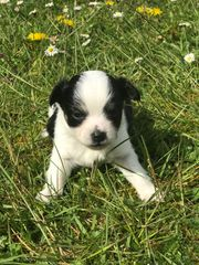 1 langhaar Chihuahua Rüde Welpe