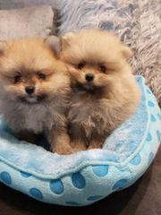 Verkaufe Pomeranian Zwergspitz
