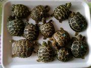 Russische Landschildkröten