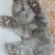bkh Katzenbaby Mädchen 14 Wochen