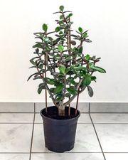 Zimmerpflanze Geldbaum Pfennigbaum Dickblatt Crassula