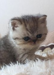 Perser Exotic Shorthair Kitten