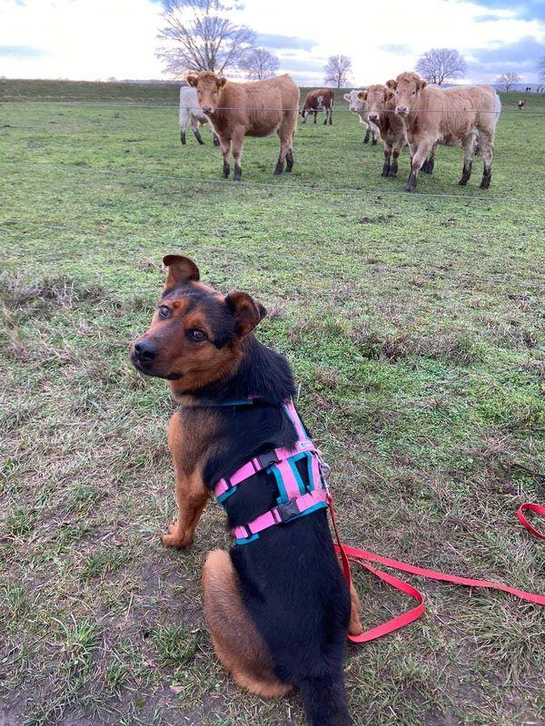 aufmerksame aufgeschlossene Schäferhundmischlingshündin Lora sucht
