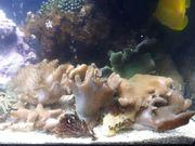 Meerwasser Lederkorallen