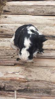 Junges Meerschweinchen schwarz-weiß Texel zu