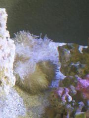 korallen anemone