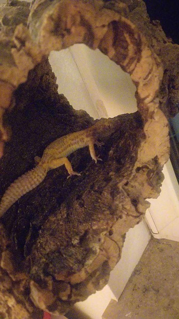 Leopardgeckos plus terarium