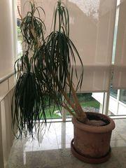 Große schöne Zimmerpflanze