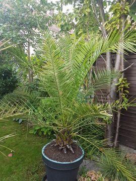 Pflanzen - Phoenix Palmen