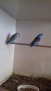 1 Paar Sperlingspapageien