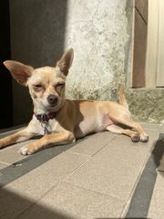 Wurfankündigung Chihuahua