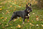 Französischer Bulldog Deckrüde