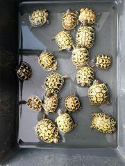 Nachzucht Griechische Landschildkröten THB aus
