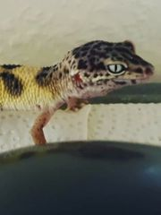 1 0 Male Leopardgecko Morph