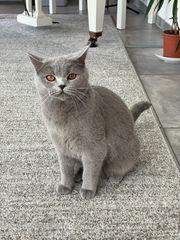 BKH Kitten Wurfankündigung Ende März