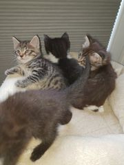 Süßes Katzenbabys Ragdoll Mix