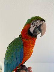 Ara Papageien - Harlekin Ara - aus