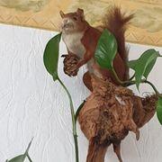 Tierpräparat Eichhörnchen Taxidermy ausgestopft Präparat