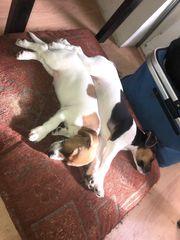 2 süße Jack Russel Terrier