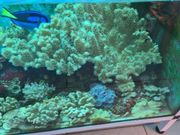 Koralle Anemone