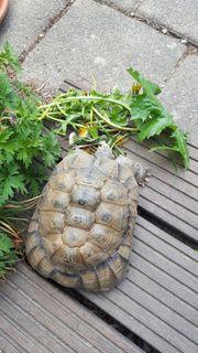 Breitrandschildkröte sucht neues Zuhause