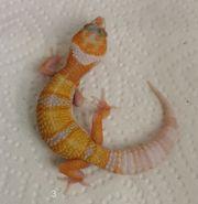 Leopardgeckos 0 1 weibl NZ