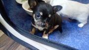 Reinrassiger zierlicher Chihuahua Rüde 1