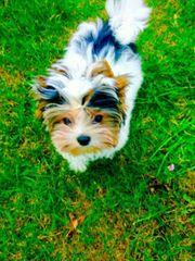 Biewer Yorkshire Terrier Junge