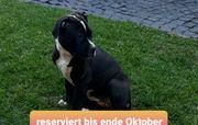Old Englisch Bulldogge