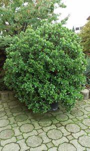 XXXL Geldbaum Crassula Ovata Pfennigbaum