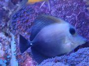 Zebrasoma Scopas Brauner Segelflossen Doktorfisch