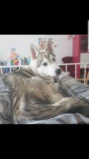 Husky Welpe sucht zuhause