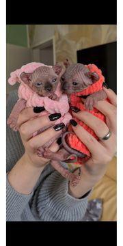 Elf Sphynx Katzen