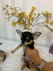 Chihuahua Welpen Rüde