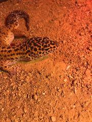 zwei Leopardgeckos viel Zubehör