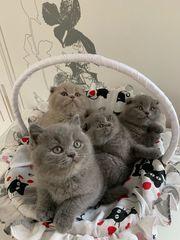 BKH Kitten zu vergeben