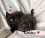Perser BKH Mix Kätzchen