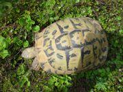 Griechische Landschildkröte Weibchen Alter unbekannt