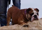 Old English Bulldog Hündinnen English