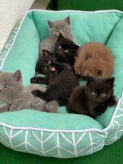 BKH Kitten- Britischkurzhaar kitten- Kitten
