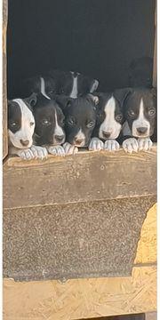 Pittbull Mischlinge zu verkaufen
