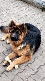 deutsche schäferhund