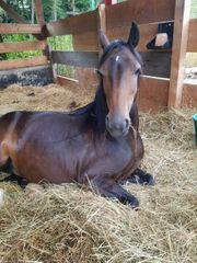Süße Ponystute sucht liebevolles Zuhause
