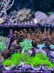 Div Korallen SPS LPS Anemonen