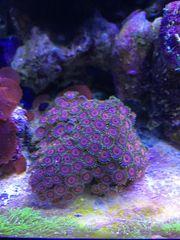 Meerwasser korallen Zoa