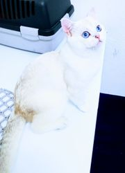 Bkh mit Blauen Augen Deckkater