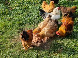Tierbetreuung - Zwerghühner