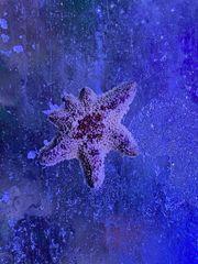Meerwasser Tausche Asterina Gänsefußseesterne gegen